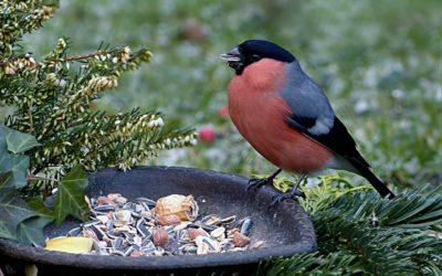 Des boules de graisse pour les oiseaux du jardin